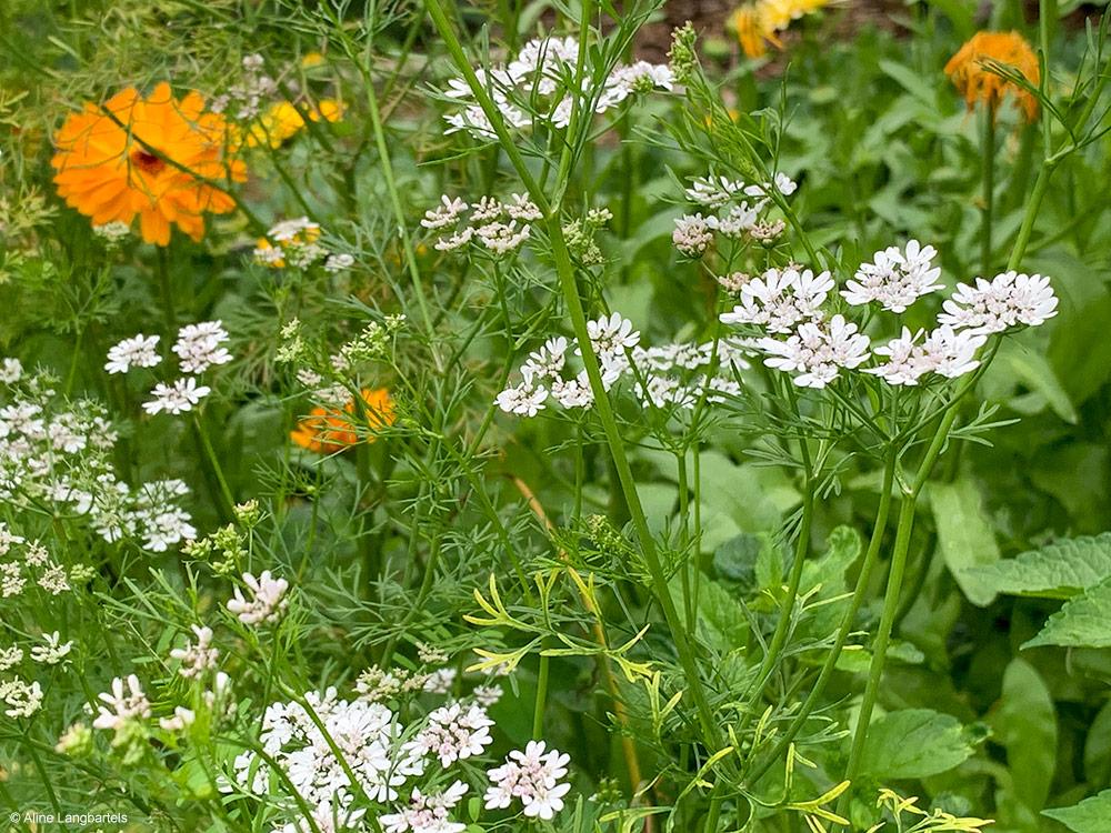Blühender Koriander mit Ringelblume im Gemüsgarten